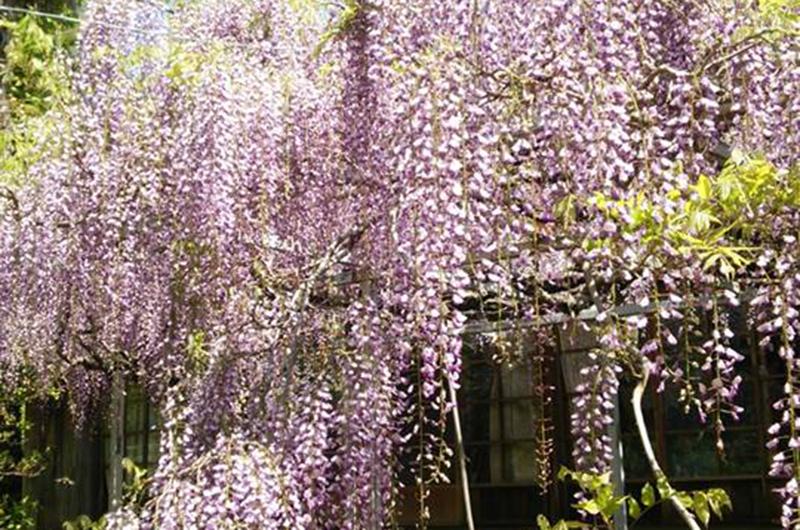 太江寺の藤