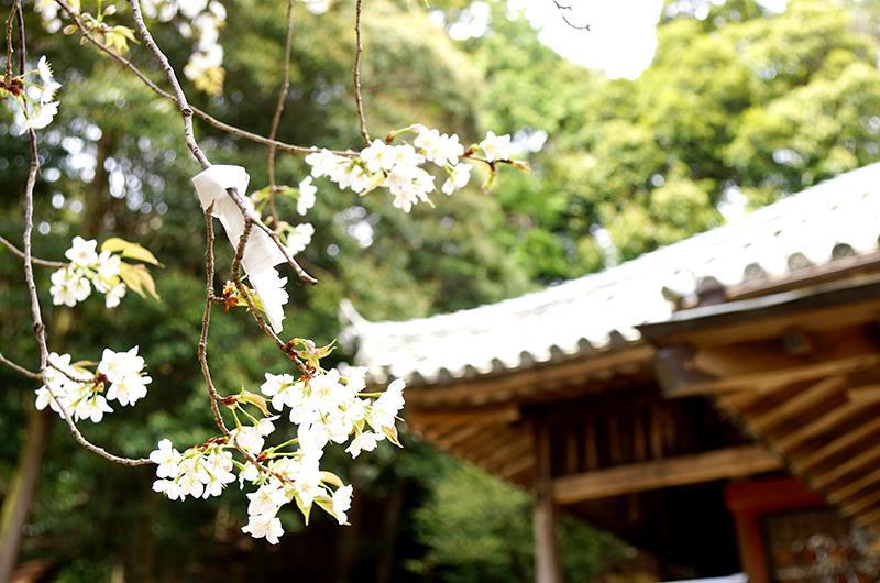 太江寺の桜