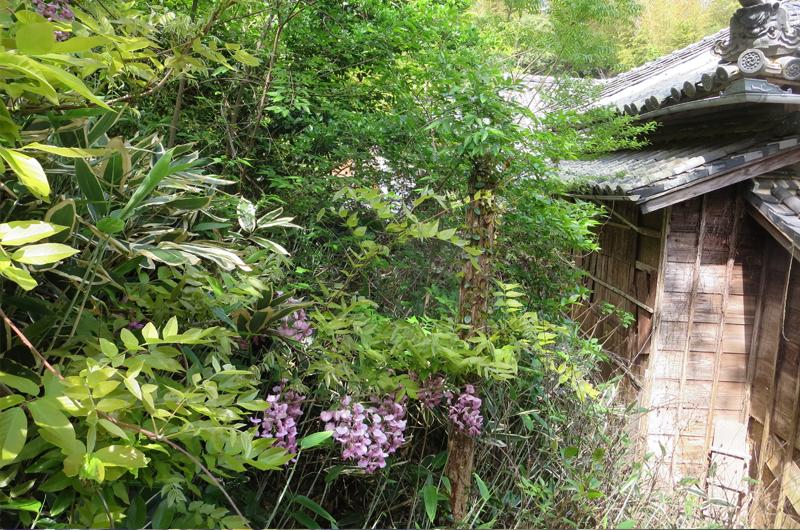 太江寺の樒